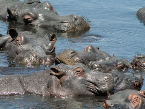 Hippos wallowing in a river in Mozambique (Photo by Frank Burd)